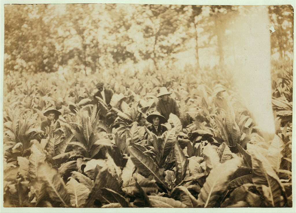 Suckering tobacco on Lowe farm. Lewis W. Hine