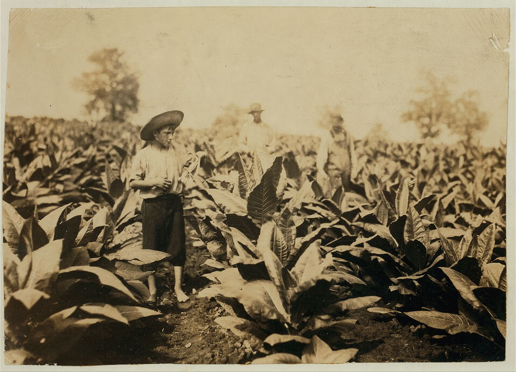 Topping tobacco. Roland Lowe, 13 years old in field with two brothers. There are 7 boys and 2 girls in the family, and 4 are in school. 1916