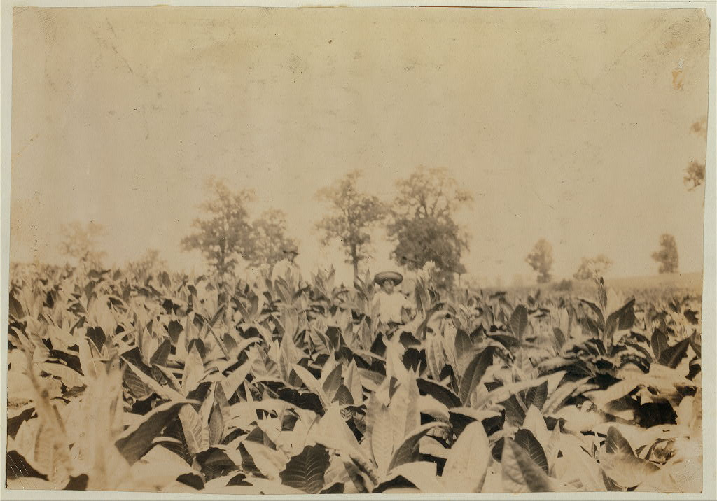 Topping tobacco. Roland Lowe, 13 years old in field with two brothers. There are 7 boys and 2 girls in the family, and 4 are in school. Father, Mose Lowe, R. Route 1, Winchester. Children go to Pretty Run School,