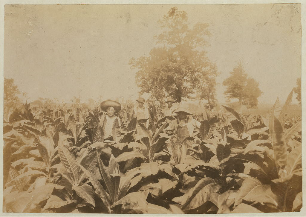 Topping tobacco. Roland Lowe, 13 years old in field with two brothers. There are 7 boys and 2 girls in the family, and 4 are in school. Father, Mose Lowe, R. Route 1, Winchester. Children go to Pretty Run School2