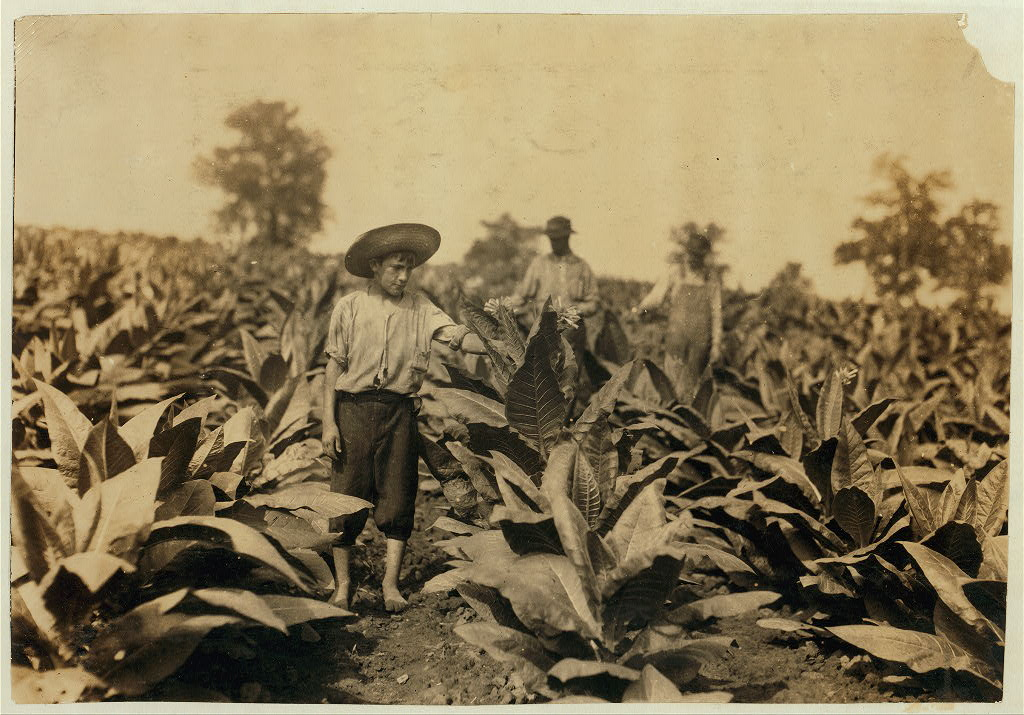 Topping tobacco. Roland Lowe, 13 years old in field with two brothers. There are 7 boys and 2 girls in the family, and 4 are in school. Father, Mose Lowe, R. Route 1, Winchester.