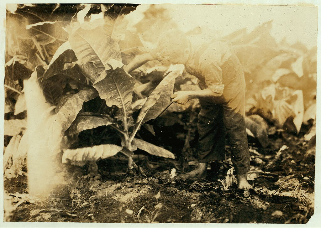 Willie Fugate cutting tobacco hine 1916