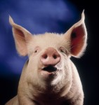 DYK: Don't buy a pig in a poke. Where did the saying come from?