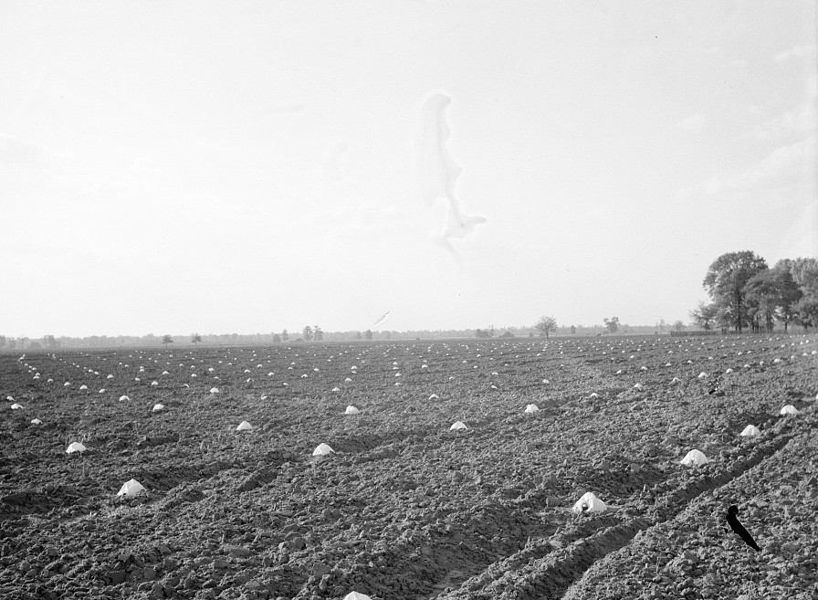 A melon field protected against insects. Mississippi County, Missouri by Carl Mydans May 1936