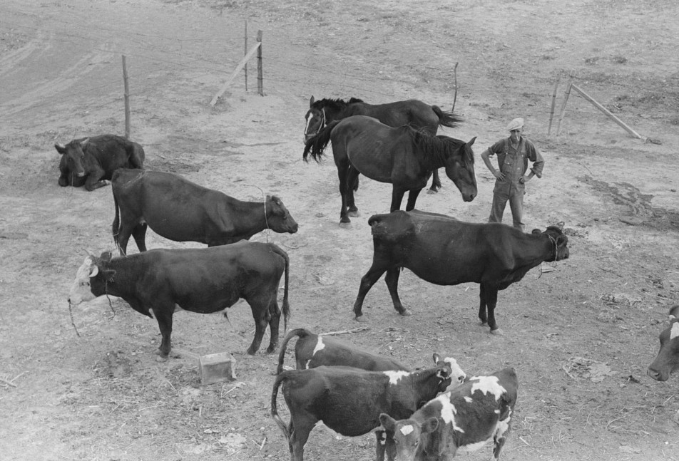Cows and horses belonging to Mr. Schoenfeldt, Russian-German FSA (Farm Security Administration) client, Sheridan County, Kansas