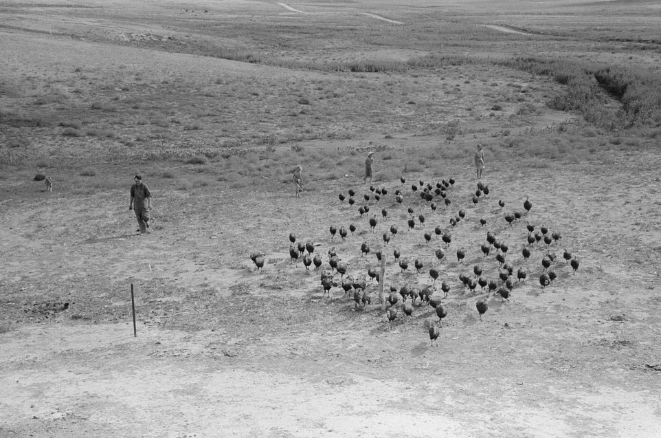Driving in a flock of turkeys, Schoenfeldt farm, Russian-German FSA (Farm Security Administration) client, Sheridan County, Kansas russell lee 1939