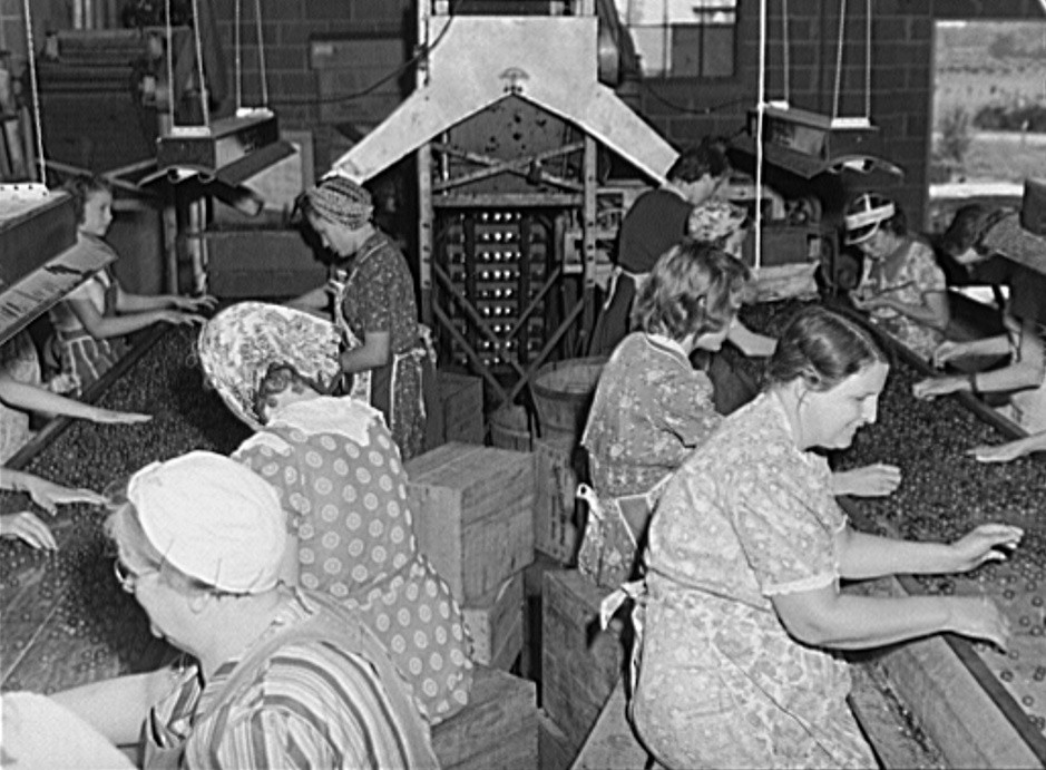 Grading cherries in packing plant. Berrien County, Michigan. These women are wives of migrant fruit pickers 1940