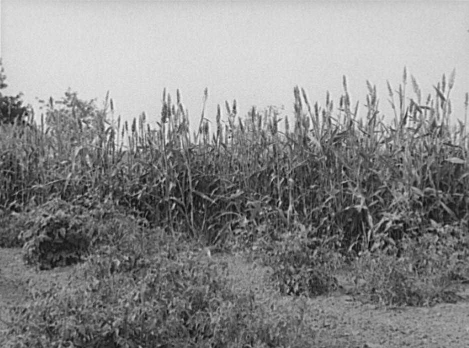 Kaffir corn is used as a windbreak for gardens in Sheridan County, Kansas russell lee 1939
