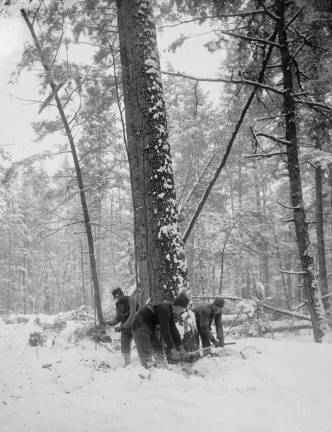 Logging, felling the tree Detoit Publishing ca. 1880