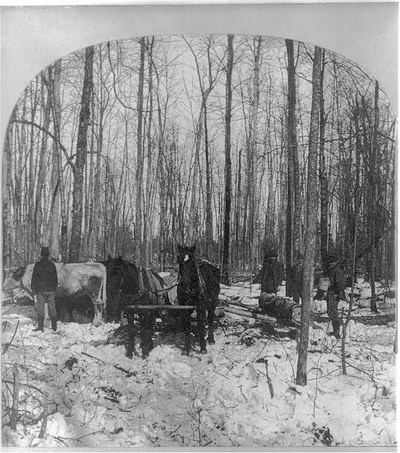 Logging in the pine forest, Michigan 1900