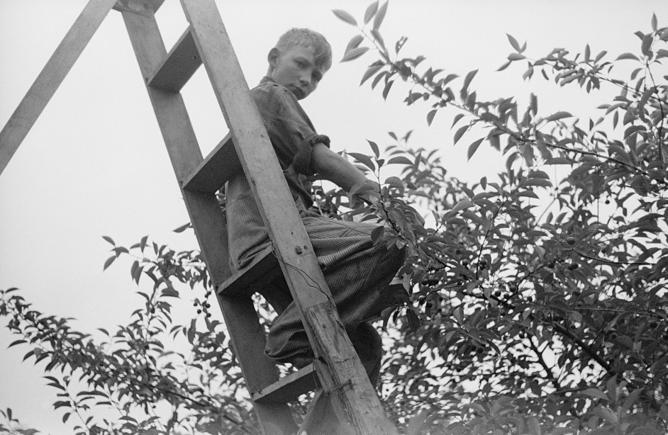 Migrant son picking cherries, Berrien County, Michigan 1940