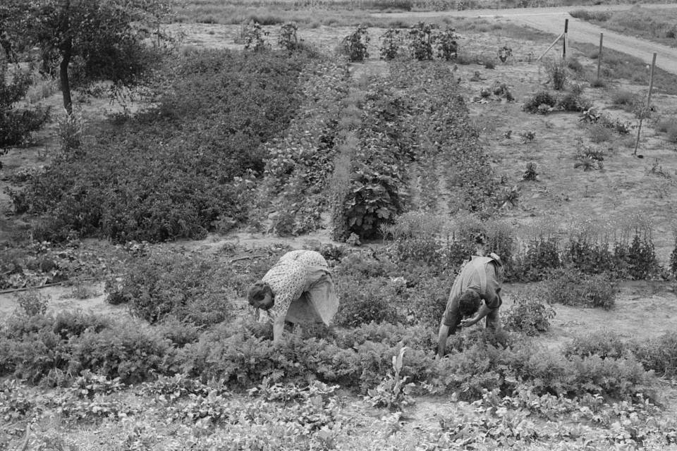 Mr. and Mrs. Schoenfeldt pulling beets from their tile garden, Sheridan County, Kansas. Tile gardens are a part of the FSA (Farm Security Administration) program in the former dust bowl