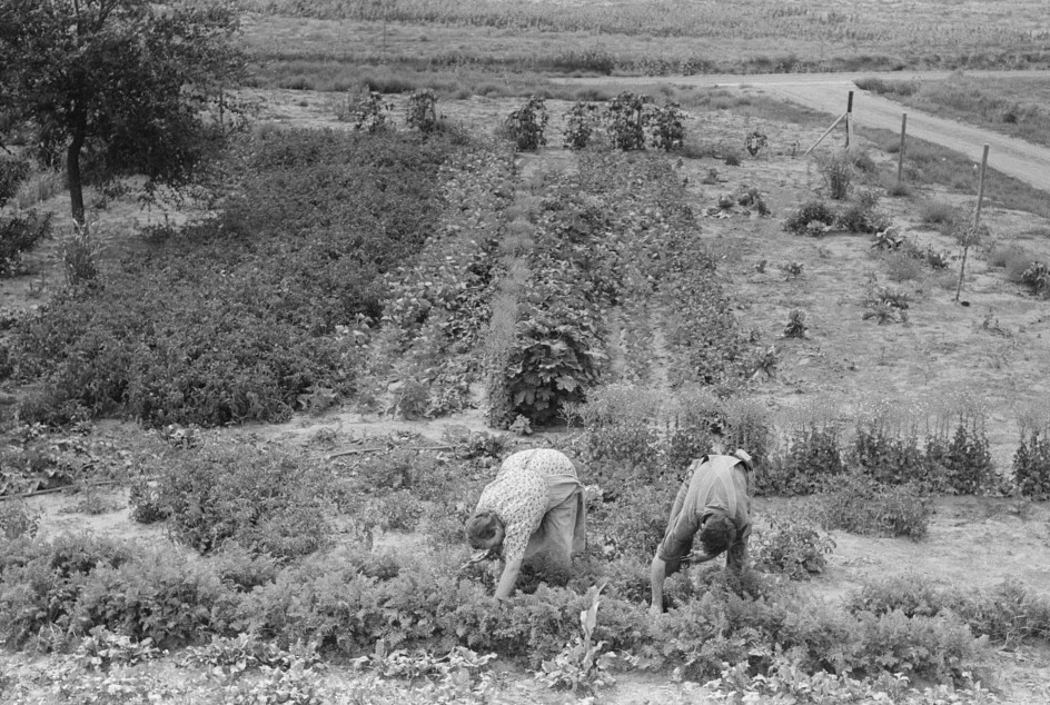 Mr. and Mrs. Schoenfeldt pulling beets from their tile garden, Sheridan County, Kansas. Tile gardens are a part of the FSA (Farm Security Administration) program in the former dust bowl2