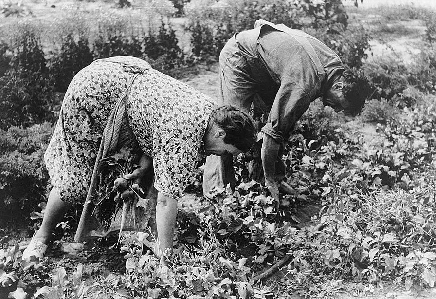 Mr. and Mrs. Schoenfeldt pulling beets from their tile garden, Sheridan County, Kansas. Tile gardens are a part of the FSA (Farm Security Administration) program in the former dust bowl3
