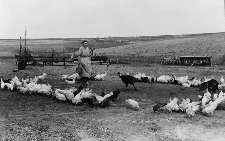 Mrs. Schoenfeldt feeding her flock of chickens. She is wife of FSA (Farm Security Administration) client in Sheridan County, Kansas russell lee 1939