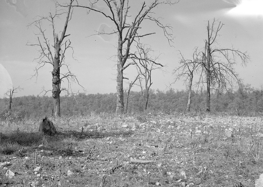 Typical Ozark backwoods scene, a corn patch in rocky soil. Meramec Forest project area. Near Salem, Missouri by Carl Mydans May 1936
