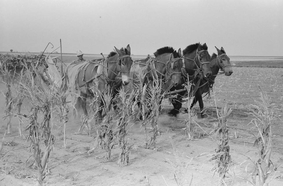 Four-horse team cutting corn for fodder, Sheridan County, Kansas russell lee 1939