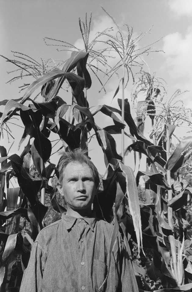 Agricultural day laborer standing in corn which he grew near his tent home in community camp, Oklahoma City, Oklahoma