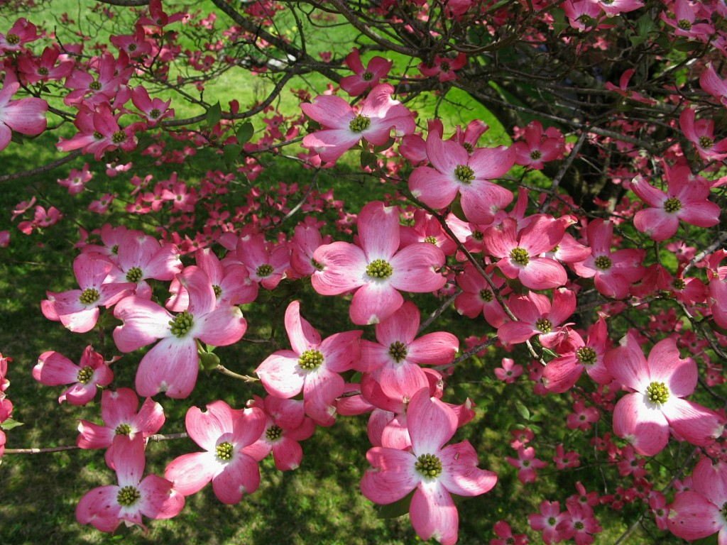White pink or red dogwood trees which do you prefer days gone by pictures of dogwood trees mightylinksfo