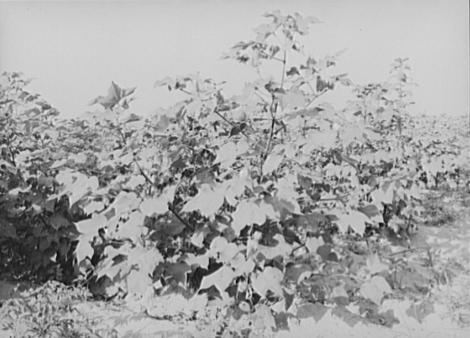 Cotton on the farm by Photographer Russell Lee 1938