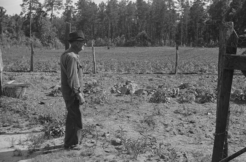 Man gazing at crops 1939