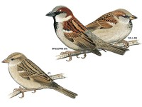 Did you know the English Sparrow was imported to New York to eat caterpillars in Central Park?