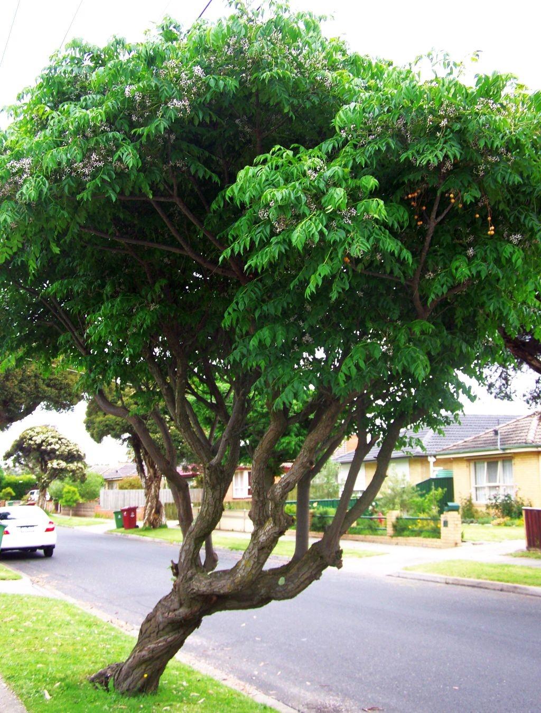 chinaberry-tree