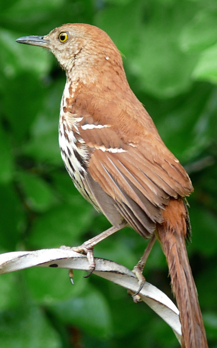 Pecking order brown thrasher wikipedia