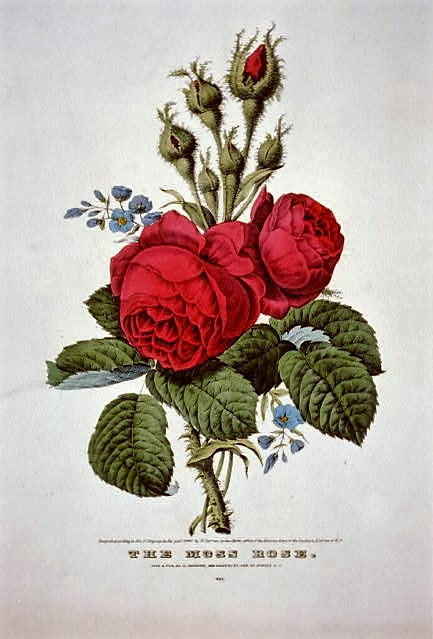 the-moss-rose-by-n-currier-1847-print-library-of-congress